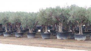 Bevor Sie ein winterfesten, winterharten Olivenbaum kaufen sollten Sie sich über das Herkunftsland und seine dortigen Bedingungen Informieren.