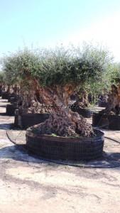 Sehr alter mehrere 100 Jahre alter Olivenbaum