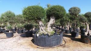 Auch als Kübelpflanze kann ein Olivenbaum bei uns in Deutschland im Freiland überwintern