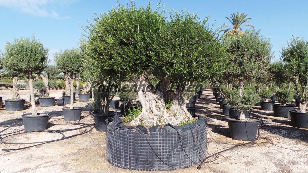 Sehr grosser und alter Olivenbaum