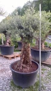 Bäume von dieser größe, von ca 250cm liegen im Kaufpreis bei ca.600-800 Euro