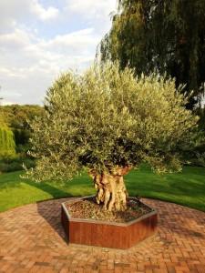 Ein sehr alter Olivenbaum im Pflanzkübel, dieser kann noch min. 20 Jahre im Pflanzkübel bleiben.