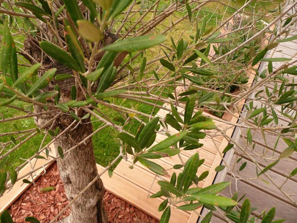 olivenbaum krankheiten er ist befallen wir helfen. Black Bedroom Furniture Sets. Home Design Ideas