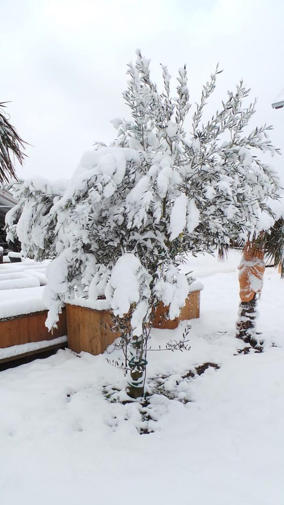 winterharten Olivenbaum kaufen. Dieser steht schon seit Jahren draußen.