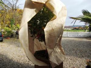 Selbst eine Citruspflanze kann mit diesen Winterschutz bis -12 Grad überwintern
